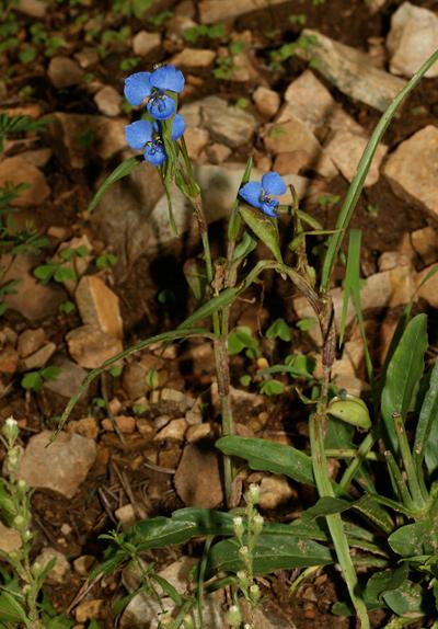 Commelina dianthifolia - Birdbill Dayflower, Bird-bill Dayflower, Western Dayflower