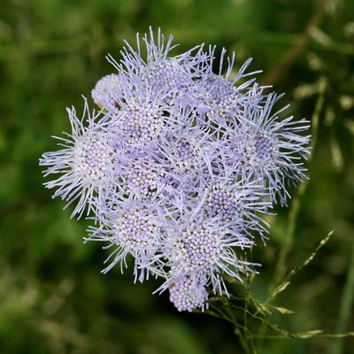Conoclinium dissectum - Palmleaf Thoroughwort, Palm-leaf Mistflower, Blue Mist, Mist Flower, Gregg's Mistflower, Gregg's Eupatorium, Texas Ageratum (flowers)