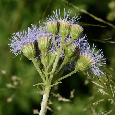 Conoclinium dissectum - Palmleaf Thoroughwort, Palm-leaf Mistflower, Blue Mist, Mist Flower, Gregg's Mistflower, Gregg's Eupatorium, Texas Ageratum