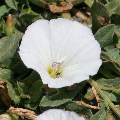 Convolvulus arvensis - Field Bindweed, European Bindweed, Creeping Jenny, Perennial Morningglory, Smallflowered Morning Glory (flower)