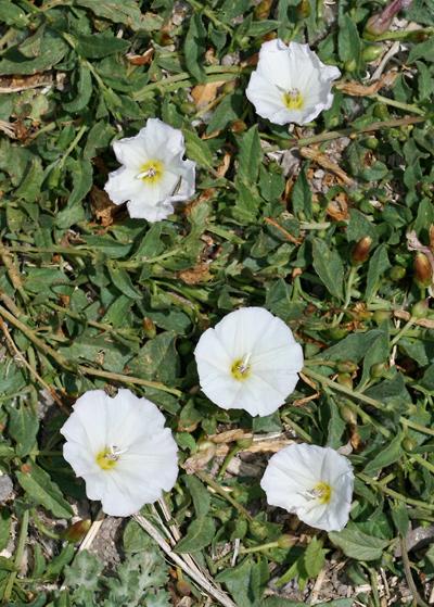 Convolvulus arvensis - Field Bindweed, European Bindweed, Creeping Jenny, Perennial Morningglory, Smallflowered Morning Glory