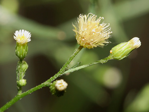 Conyza canadensis - Canadian Horseweed, Marestail, Mare's Tail, Horseweed Fleabane, Canada Fleabane