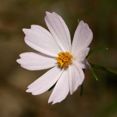 Cosmos parviflorus - Southwestern Cosmos (pink flower)
