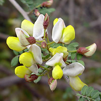 Yellow Flowers - Coursetia glandulosa – Rosary Babybonnets
