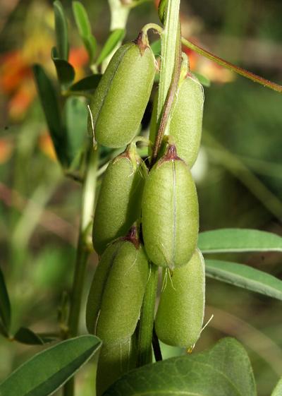 Crotalaria pumila - Low Rattlebox (fruit)