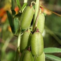 Conspicuous Fruit or Cones - Crotalaria pumila – Low Rattlebox