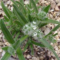 Common Wildflowers - Cryptantha spp. – Cryptantha