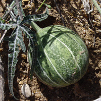 Conspicuous Fruit or Cones - Cucurbita digitata – Fingerleaf Gourd