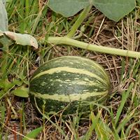 Conspicuous Fruit or Cones - Cucurbita foetidissima – Missouri Gourd