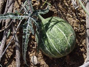 Cucurbita digitata - Fingerleaf Gourd, Finger-leaved Gourd