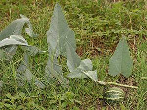 Cucurbita foetidissima - Missouri Gourd, Buffalo Gourd, Stinking Gourd, Stink Gourd, Stinky Gourd, Calabazilla, Wild Gourd, Wild Pumpkin (fruit)