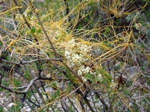 Cuscuta sp. - Dodder (host plant is Rosary Babybonnets (Coursetia glandulosa))
