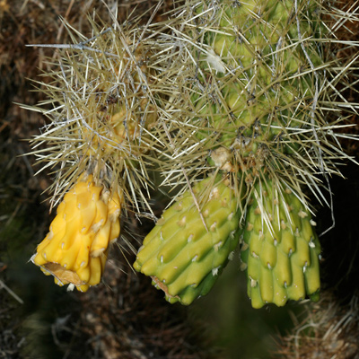 Cylindropuntia bigelovii - Teddybear Cholla, Teddy Bear Cholla, Jumping Cholla (fruit)