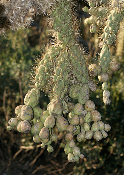 Cylindropuntia fulgida - Jumping Cholla, Chainfruit Cholla, Chain Fruit Cholla (fruit chain)