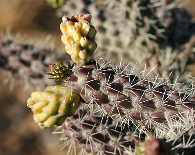 Cylindropuntia spinosior - Walkingstick Cactus, Cane Cholla, Walking Stick Cactus (fruit)