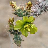 Green Flowers - Cylindropuntia acanthocarpa – Buck-horn Cholla