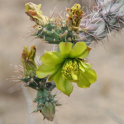 Cylindropuntia acanthocarpa - Buck-horn Cholla, Buckhorn Cholla (yellow-green flower)