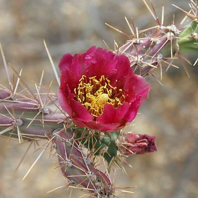 Cylindropuntia acanthocarpa - Buck-horn Cholla, Buckhorn Cholla (pink flower)