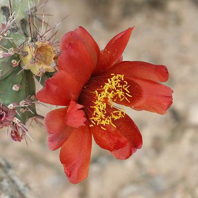 Cylindropuntia acanthocarpa - Buck-horn Cholla, Buckhorn Cholla (red flower)