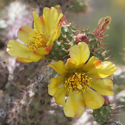 Cylindropuntia acanthocarpa - Buck-horn Cholla, Buckhorn Cholla (yellow flowers)