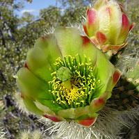 Green Flowers - Cylindropuntia bigelovii – Teddybear Cholla
