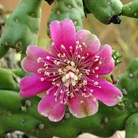 Common Wildflowers - Cylindropuntia fulgida – Jumping Cholla