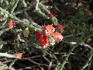 Cylindropuntia leptocaulis - Christmas Cactus, Christmas Cholla, Pencil Cholla
