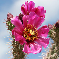 Pink Flowers - Cylindropuntia spinosior – Walkingstick Cactus