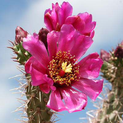Cylindropuntia spinosior - Walkingstick Cactus, Cane Cholla, Walking Stick Cactus (magenta pink flower)