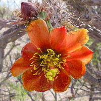 Common Wildflowers - Cylindropuntia versicolor – Staghorn Cholla