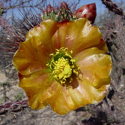 Cylindropuntia versicolor - Staghorn Cholla (bronze flower)