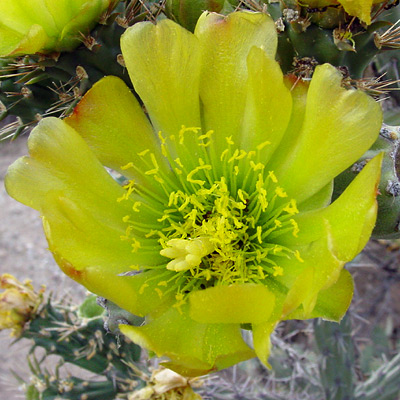 Cylindropuntia versicolor - Staghorn Cholla (yellow-green flower)