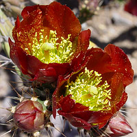 Red Flowers - Cylindropuntia versicolor – Staghorn Cholla
