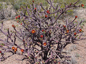 Cylindropuntia versicolor - Staghorn Cholla