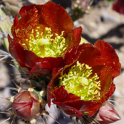 Cylindropuntia versicolor - Staghorn Cholla (red flower)