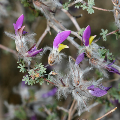 Dalea formosa - Featherplume, Feather-plume, Feather Dalea, Feathery Dalea (flowers and leaves)