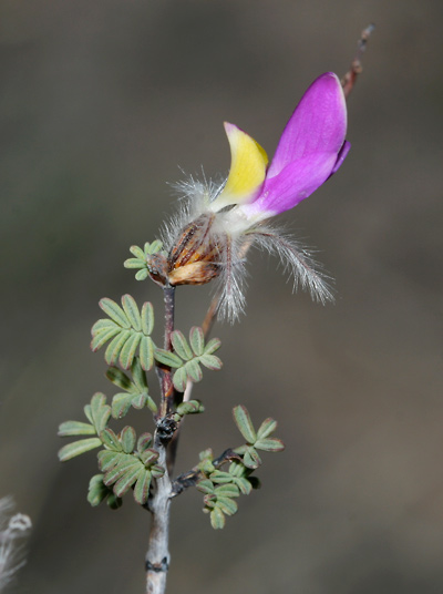 Dalea formosa - Featherplume, Feather-plume, Feather Dalea, Feathery Dalea (flower)