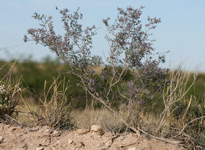 Dalea formosa - Featherplume, Feather-plume, Feather Dalea, Feathery Dalea