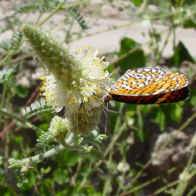 Dalea albiflora - Whiteflower Prairie Clover, Scruffy Prairie Clover, Scurfy Prairie Clover (flower and a Tiny Checkerspot (Dymasia dymas) butterfly)