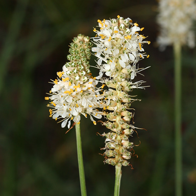 Dalea candida - White Prairie Clover, White Prairie-clover