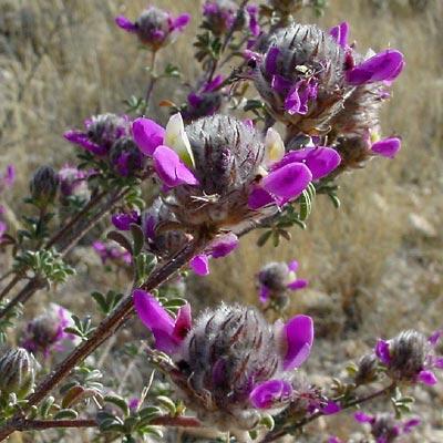 Dalea pulchra - Santa Catalina Prairie Clover, Indigo Bush, Dalea (purple flowers)