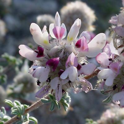 Dalea pulchra - Santa Catalina Prairie Clover, Indigo Bush, Dalea (white flowers)