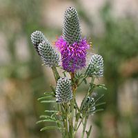Purple and Blue Flowers - Dalea purpurea – Purple Prairie Clover