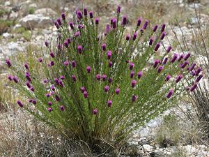 Dalea purpurea - Purple Prairie Clover, Violet Prairie Clover, Purple Prairie-clover