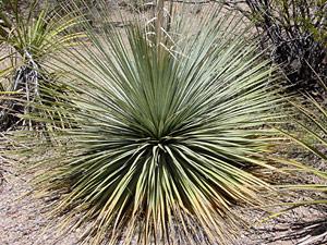 Dasylirion wheeleri - Common Sotol, Desert Spoon, Sotol