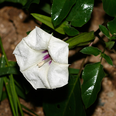 Datura discolor - Desert Thorn-apple (night flower)