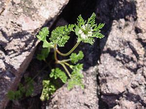 Daucus pusillus - American Wild Carrot, Rattlesnakeweed, Rattlesnake-weed, Southwestern Carrot, Seedticks