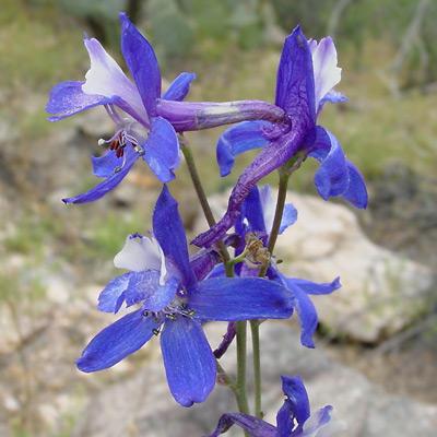 Delphinium scaposum - Tall Mountain Larkspur, Barestem Larkspur, Naked Delphinium
