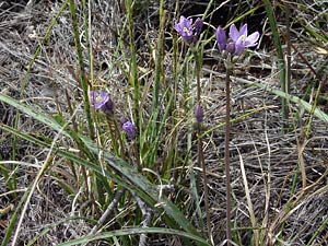 Dichelostemma capitatum - Bluedicks, Desert Hyacinth