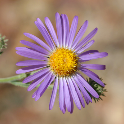 Dieteria canescens - Hoary Tansyaster, Hoary Tansy-aster, Hoary-aster, Purple Aster (flower)